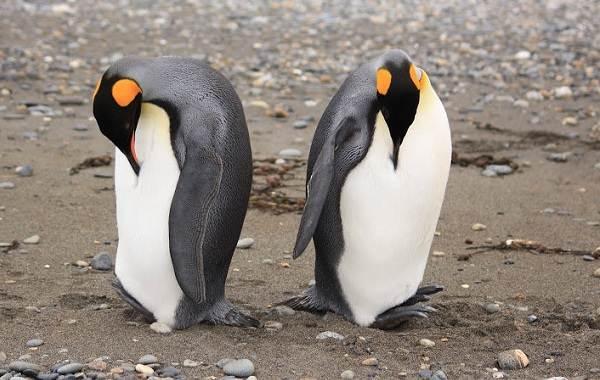 Королевский-пингвин-Описание-особенности-виды-образ-жизни-и-среда-обитания-птицы-3