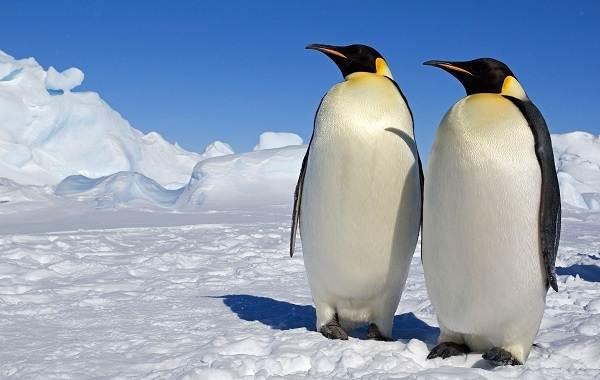 Королевский-пингвин-Описание-особенности-виды-образ-жизни-и-среда-обитания-птицы-6