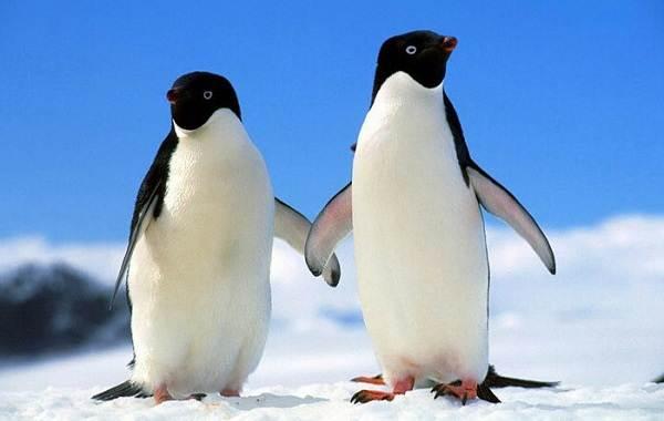 Королевский-пингвин-Описание-особенности-виды-образ-жизни-и-среда-обитания-птицы-7
