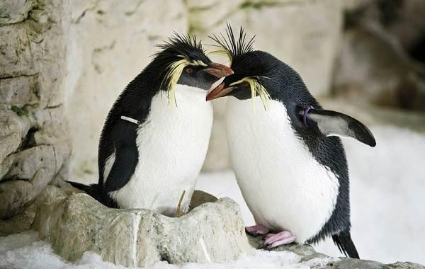 Королевский-пингвин-Описание-особенности-виды-образ-жизни-и-среда-обитания-птицы-8