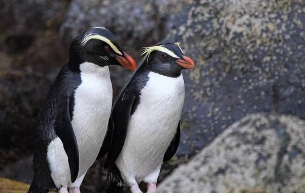 Королевский-пингвин-Описание-особенности-виды-образ-жизни-и-среда-обитания-птицы-9