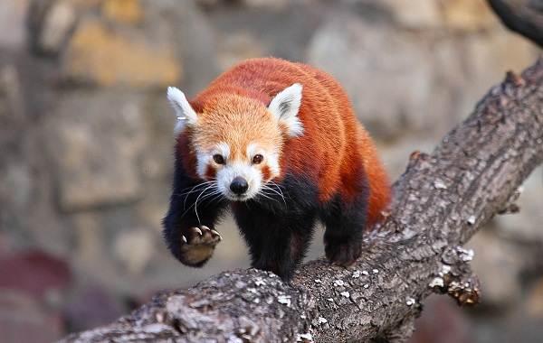 Красная-панда-животное-Описание-особенности-виды-образ-жизни-и-среда-обитания-панды-1