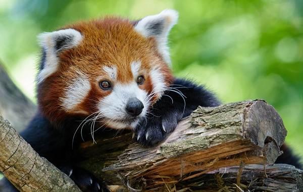 Красная-панда-животное-Описание-особенности-виды-образ-жизни-и-среда-обитания-панды-10