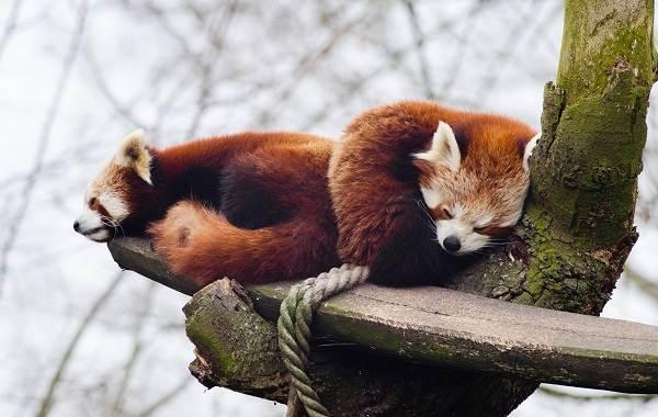 Красная-панда-животное-Описание-особенности-виды-образ-жизни-и-среда-обитания-панды-11