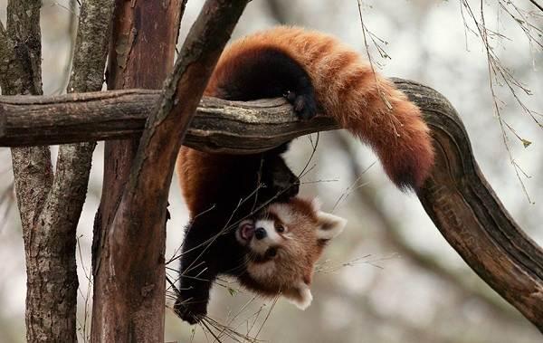 Красная-панда-животное-Описание-особенности-виды-образ-жизни-и-среда-обитания-панды-12