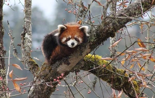 Красная-панда-животное-Описание-особенности-виды-образ-жизни-и-среда-обитания-панды-16