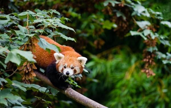 Красная-панда-животное-Описание-особенности-виды-образ-жизни-и-среда-обитания-панды-17