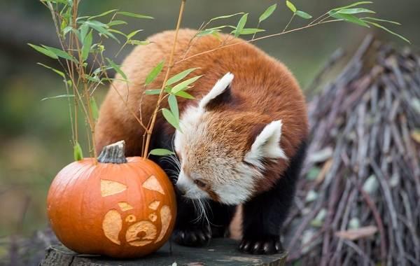 Красная-панда-животное-Описание-особенности-виды-образ-жизни-и-среда-обитания-панды-19