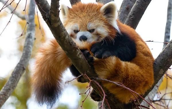 Красная-панда-животное-Описание-особенности-виды-образ-жизни-и-среда-обитания-панды-2