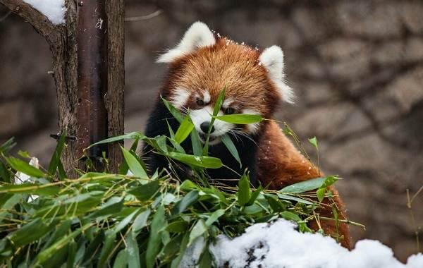 Красная-панда-животное-Описание-особенности-виды-образ-жизни-и-среда-обитания-панды-3