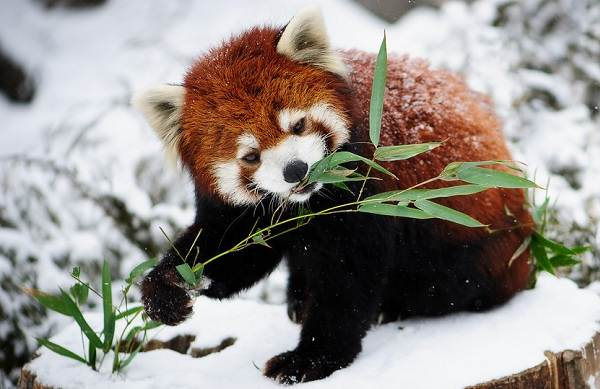 Красная-панда-животное-Описание-особенности-виды-образ-жизни-и-среда-обитания-панды-4