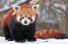 Красная панда животное. Описание, особенности, виды, образ жизни и среда обитания панды