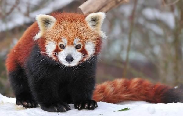 Красная-панда-животное-Описание-особенности-виды-образ-жизни-и-среда-обитания-панды-5