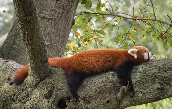 Красная-панда-животное-Описание-особенности-виды-образ-жизни-и-среда-обитания-панды-7