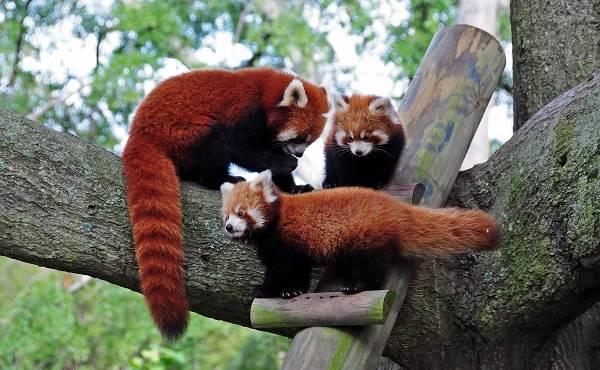 Красная-панда-животное-Описание-особенности-виды-образ-жизни-и-среда-обитания-панды-8