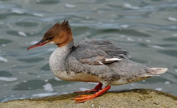 Крохаль-утка-Описание-особенности-виды-образ-жизни-и-среда-обитания-птицы-1