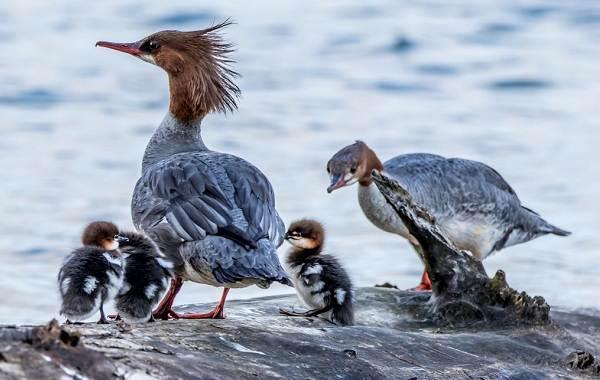 Крохаль-утка-Описание-особенности-виды-образ-жизни-и-среда-обитания-птицы-10