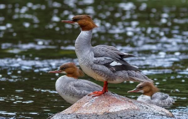 Крохаль-утка-Описание-особенности-виды-образ-жизни-и-среда-обитания-птицы-11