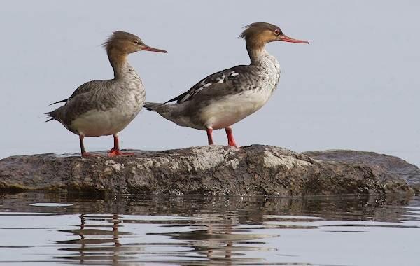 Крохаль-утка-Описание-особенности-виды-образ-жизни-и-среда-обитания-птицы-12