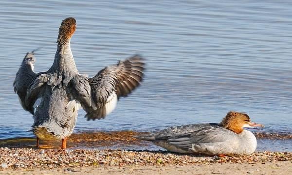 Крохаль-утка-Описание-особенности-виды-образ-жизни-и-среда-обитания-птицы-14