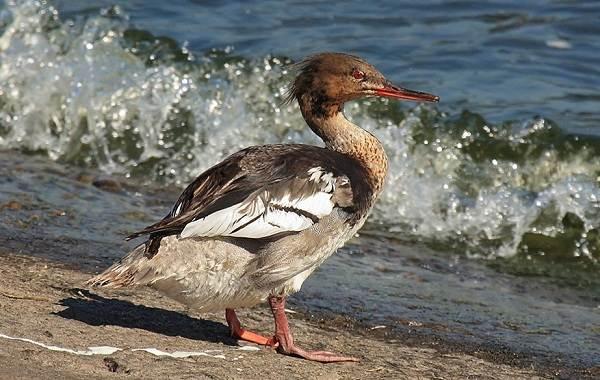 Крохаль-утка-Описание-особенности-виды-образ-жизни-и-среда-обитания-птицы-2