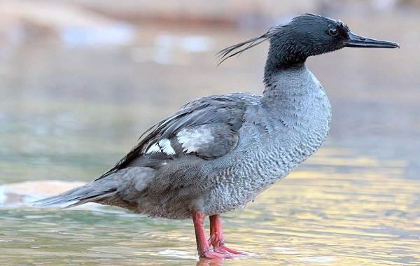 Крохаль-утка-Описание-особенности-виды-образ-жизни-и-среда-обитания-птицы-4