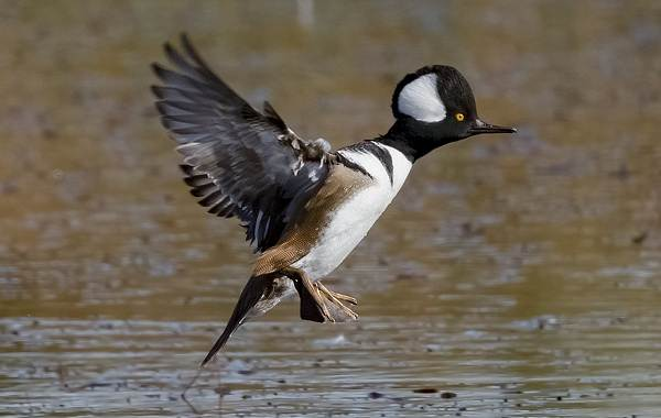 Крохаль-утка-Описание-особенности-виды-образ-жизни-и-среда-обитания-птицы-5