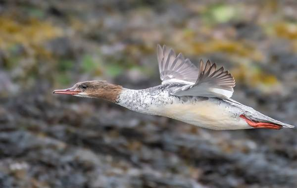 Крохаль-утка-Описание-особенности-виды-образ-жизни-и-среда-обитания-птицы-7