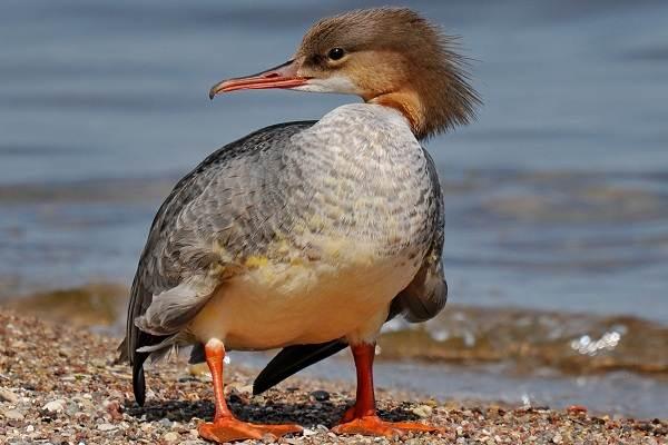 Крохаль-утка-Описание-особенности-виды-образ-жизни-и-среда-обитания-птицы