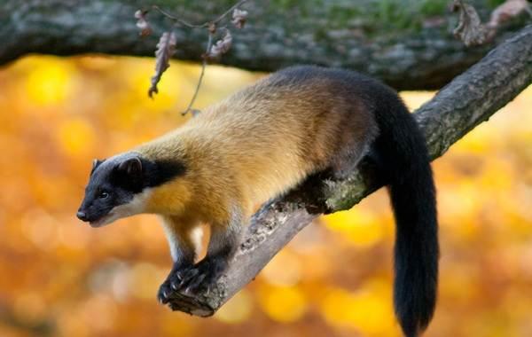 Куница-животное-Описание-особенности-виды-образ-жизни-и-среда-обитания-куницы-10