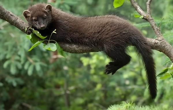 Куница-животное-Описание-особенности-виды-образ-жизни-и-среда-обитания-куницы-11