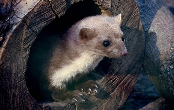Куница-животное-Описание-особенности-виды-образ-жизни-и-среда-обитания-куницы-12