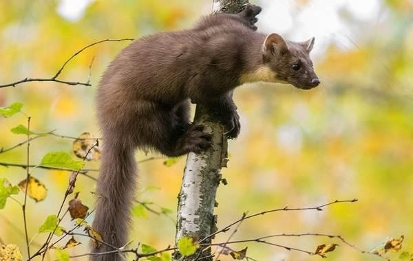 Куница-животное-Описание-особенности-виды-образ-жизни-и-среда-обитания-куницы-13