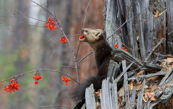 Куница-животное-Описание-особенности-виды-образ-жизни-и-среда-обитания-куницы-16