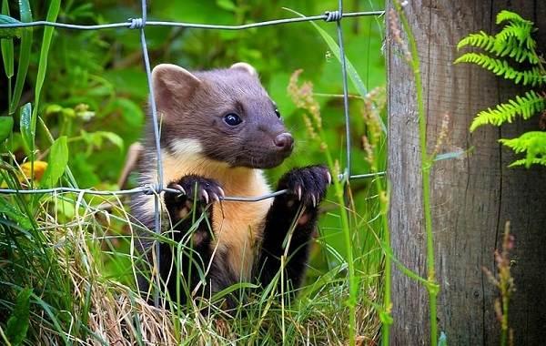 Куница-животное-Описание-особенности-виды-образ-жизни-и-среда-обитания-куницы-17