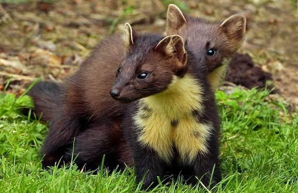 Куница-животное-Описание-особенности-виды-образ-жизни-и-среда-обитания-куницы-18