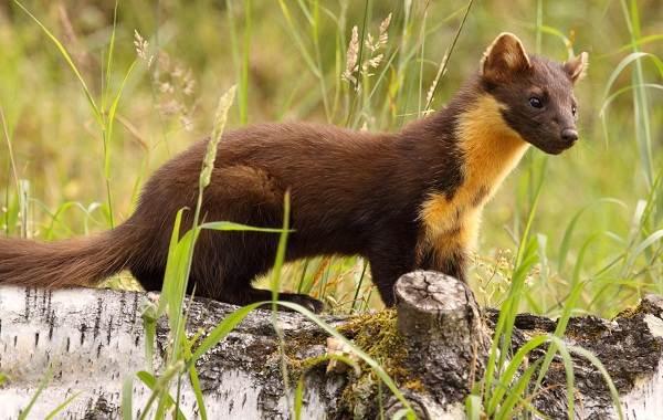 Куница-животное-Описание-особенности-виды-образ-жизни-и-среда-обитания-куницы-2