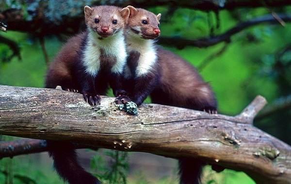 Куница-животное-Описание-особенности-виды-образ-жизни-и-среда-обитания-куницы-3