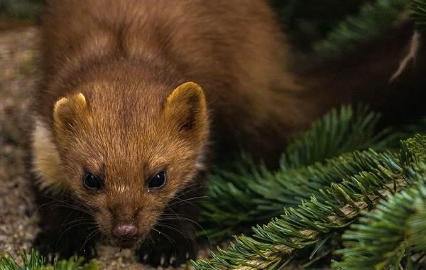 Куница-животное-Описание-особенности-виды-образ-жизни-и-среда-обитания-куницы-4
