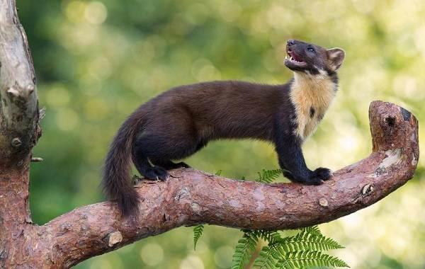 Куница-животное-Описание-особенности-виды-образ-жизни-и-среда-обитания-куницы-6