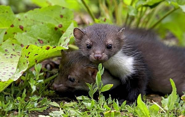 Куница-животное-Описание-особенности-виды-образ-жизни-и-среда-обитания-куницы-7