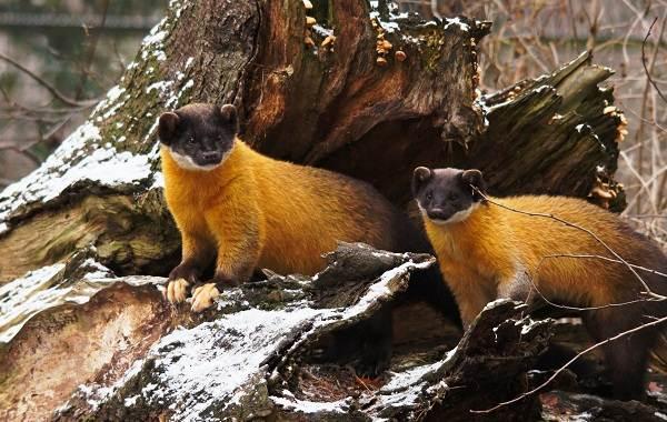 Куница-животное-Описание-особенности-виды-образ-жизни-и-среда-обитания-куницы-8