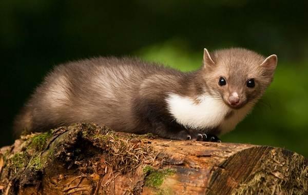 Куница-животное-Описание-особенности-виды-образ-жизни-и-среда-обитания-куницы-9