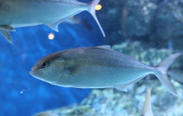 Лакедра-рыба-Описание-особенности-виды-образ-жизни-и-среда-обитания-лакедры-11