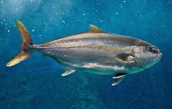 Лакедра-рыба-Описание-особенности-виды-образ-жизни-и-среда-обитания-лакедры-2