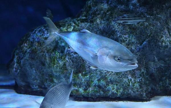 Лакедра-рыба-Описание-особенности-виды-образ-жизни-и-среда-обитания-лакедры-7