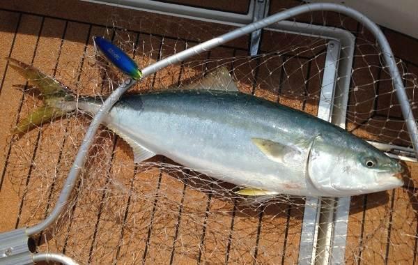 Лакедра-рыба-Описание-особенности-виды-образ-жизни-и-среда-обитания-лакедры-9