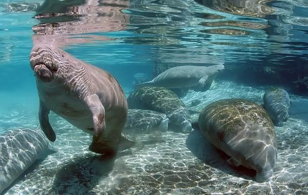 Ламантин-животное-Описание-особенности-виды-образ-жизни-и-среда-обитания-ламантина-12