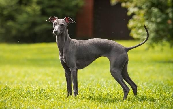 Левретка-собака-Описание-особенности-виды-уход-и-цена-породы-левретка-1