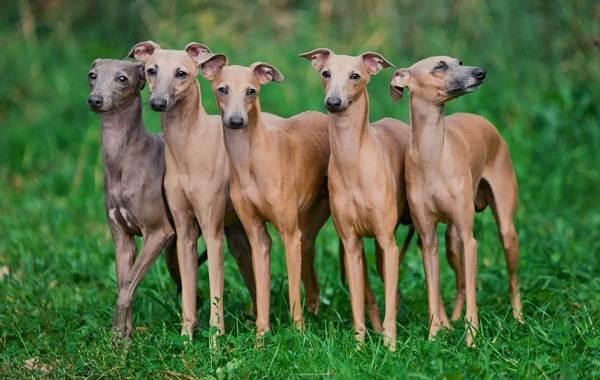 Левретка-собака-Описание-особенности-виды-уход-и-цена-породы-левретка-11